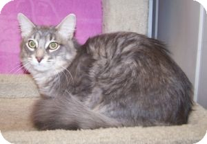 Domestic Mediumhair Cat for adoption in Colorado Springs, Colorado - Rhett