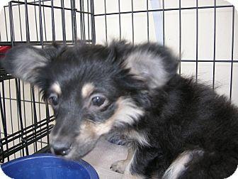 Pomeranian Mix Puppy for adoption in Las Vegas, Nevada - Green Pea
