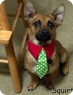 Terrier (Unknown Type, Small)/Dachshund Mix Dog for adoption in New Jersey, New Jersey - NJ Hamilton - Squirt