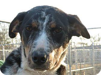 Dachshund/Corgi Mix Dog for adoption in Williston, Vermont - Badger