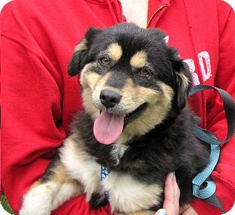 Sheltie, Shetland Sheepdog/Husky Mix Puppy for adoption in Shelter Island, New York - Spanky