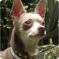 Adopt A Pet :: Perfect Little CaptainNemo - Baltimore, MD