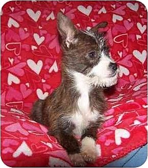 Chihuahua/Terrier (Unknown Type, Medium) Mix Puppy for adoption in Old Fort, North Carolina - Gidget