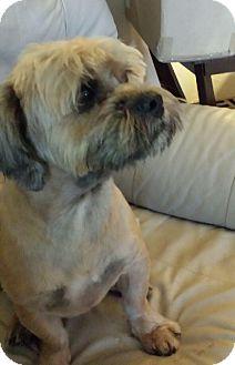 Lhasa Apso Dog for adoption in Naples, Florida - Pebbles