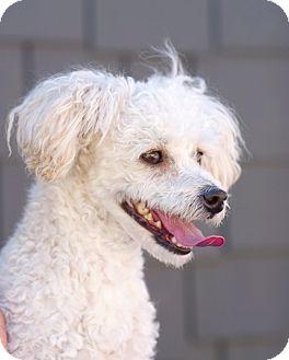 Poodle (Miniature) Mix Dog for adoption in Coronado, California - Lafayette