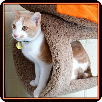 Domestic Shorthair Cat for adoption in Glendale, Arizona - Buttercup
