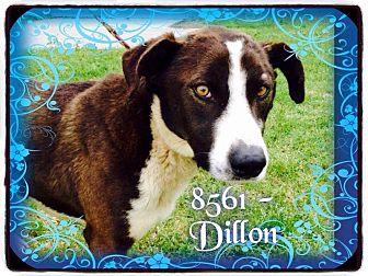 Labrador Retriever/Hound (Unknown Type) Mix Dog for adoption in Dillon, South Carolina - Dillon