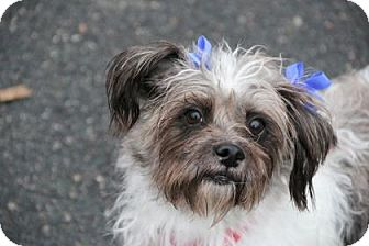 Shih Tzu Mix Dog for adoption in Gloucester, Massachusetts - Loli