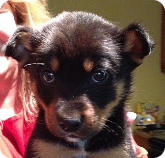 Miniature Pinscher/Rat Terrier Mix Puppy for adoption in Olive Branch, Mississippi - Paddington-Box Pup