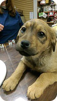 Labrador Retriever/Rottweiler Mix Puppy for adoption in Ogden, Utah - Atlanta
