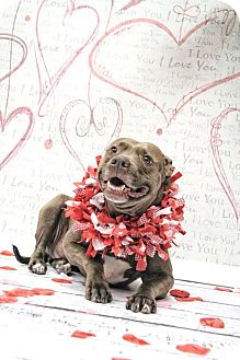 American Pit Bull Terrier Mix Dog for adoption in West Allis, Wisconsin - Gia