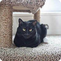 Domestic Shorthair Cat for adoption in East Norriton, Pennsylvania - Jesse