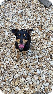 Miniature Pinscher Mix Dog for adoption in Palmetto Bay, Florida - rick