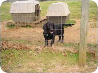 Basset Hound/Labrador Retriever Mix Dog for adoption in Cairo, Georgia - Tater