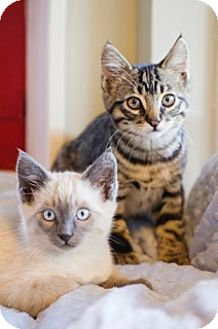 Domestic Shorthair Kitten for adoption in Los Angeles, California - BEAU