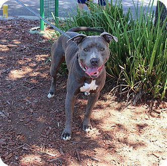 American Pit Bull Terrier Mix Dog for adoption in Yuba City, California - Cookie