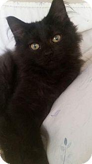 Domestic Longhair Kitten for adoption in Columbus, Ohio - Baird