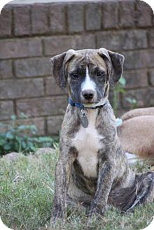 Hound (Unknown Type) Mix Puppy for adoption in Nashville, Tennessee - Ryder