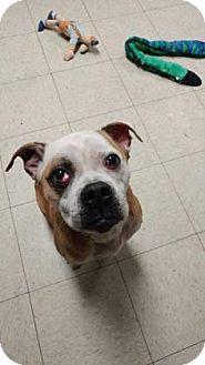 American Bulldog/Beagle Mix Dog for adoption in Fulton, Missouri - Elfie- Ohio