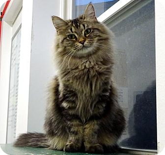 Domestic Mediumhair Cat for adoption in Belleville, Michigan - Macie