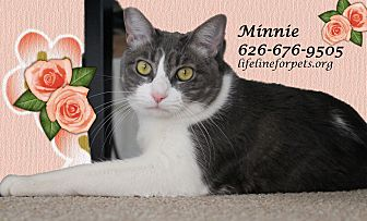 Domestic Shorthair Cat for adoption in Monrovia, California - A Young Female: MINNIE