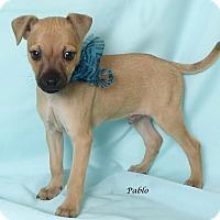 Adopt A Pet :: Pablo - Kerrville, TX