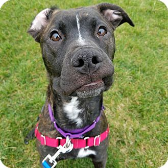 Pit Bull Terrier Mix Dog for adoption in Wheaton, Illinois - Ducky