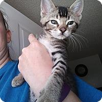 Adopt A Pet :: Liam - Levelland, TX