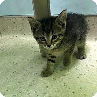 Domestic Shorthair Kitten for adoption in Janesville, Wisconsin - Felix