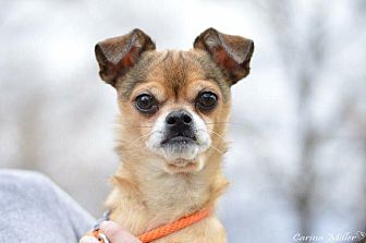 Chihuahua Dog for adoption in Thompson Falls, Montana - Pepe