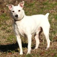 Adopt A Pet :: Rex *Foster* - Glen Allen, VA