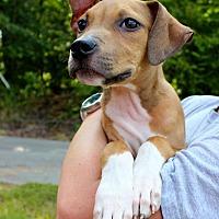 Adopt A Pet :: BJ - East Hartford, CT