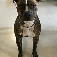 Adopt A Pet :: Culpeper Shelter Roxie - Fredericksburg, VA