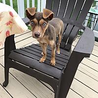 Adopt A Pet :: Bella - East Randolph, VT