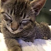 Adopt A Pet :: Beatrix - Madison, NJ