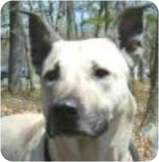 German Shepherd Dog/American Pit Bull Terrier Mix Dog for adoption in Eatontown, New Jersey - Larissa