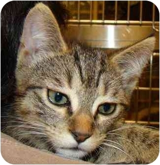Bengal Kitten for adoption in Houston, Texas - Lollipop