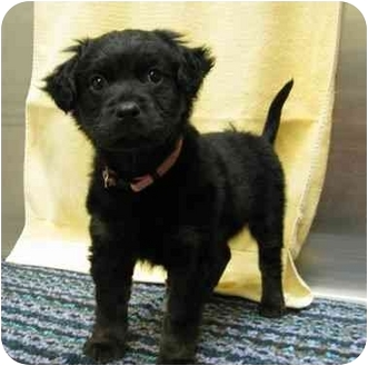 Spaniel (Unknown Type) Mix Puppy for adoption in Houston, Texas - Hannah