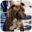 Photo 4 - American Staffordshire Terrier Mix Puppy for adoption in Berkeley, California - Delores