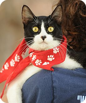 Domestic Shorthair Cat for adoption in Los Angeles, California - Vic - video!