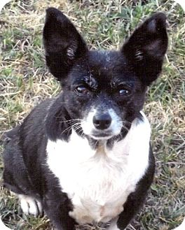 Chihuahua/Boston Terrier Mix Dog for adoption in Homer, New York - Sophie Tuna