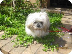 Lhasa Apso Mix Dog for adoption in Encino, California - Obi