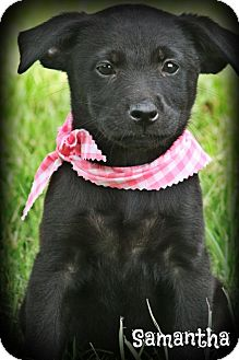 Labrador Retriever/Border Collie Mix Puppy for adoption in Brattleboro, Vermont - Samantha
