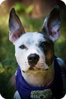 Australian Cattle Dog/Terrier (Unknown Type, Medium) Mix Dog for adoption in Atlanta, Georgia - Lucy