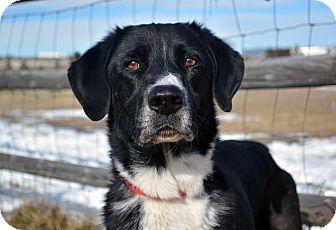 Labrador Retriever/Blue Heeler Mix Dog for adoption in Cheyenne, Wyoming - Fischer
