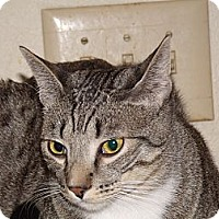 Adopt A Pet :: Bobby-declawed & chipped - Scottsdale, AZ