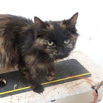 Domestic Longhair Cat for adoption in Janesville, Wisconsin - Serena
