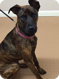 Plott Hound/Labrador Retriever Mix Dog for adoption in Seattle, Washington - Scarlett