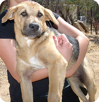 Anatolian Shepherd/Hound (Unknown Type) Mix Puppy for adoption in Corona, California - DAISY