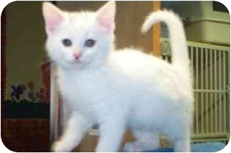 Domestic Shorthair Kitten for adoption in Port Hope, Ontario - Opal